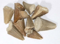 Shark Teeth approx. 3-4 cm B-quality