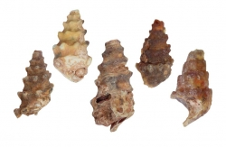 Fossil Snail agatized, Morocco
