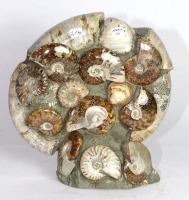 Ammonite Sculpture Ammo30