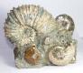 Ammonite Sculpture Ammo39