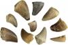 Mosasaurus tooth small