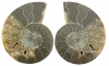 Ammonite Pairs 60-80 mm, Size 4