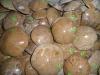Sea urchin polished, 2nd quality