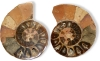 Ammonite Pairs 25-45 mm, Size 2