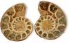 Ammonite Pairs 45-60 mm, Size 3