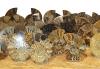 Ammonite Pairs 8-25 cm, Madagascar