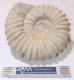 Ammonite approx. 22 cm, Morocco