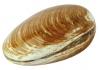 versteinerte Muschel ca. 5 - 7 cm poliert