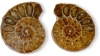 Ammonite Pair size Size 2 B-quality