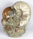 Ammonite Sculpture Ammo31